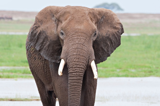 Ivory belongs to elephants!