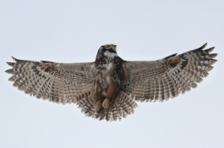 A great horned owl in flight. Photo by John McCarthy