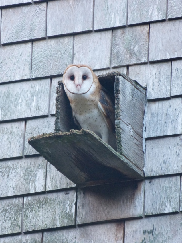 Barn owl Photo by Brian Rusnica