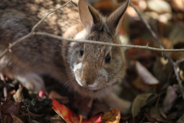 This is a New England cottontail. Credit: Tom Barnes / USFWS