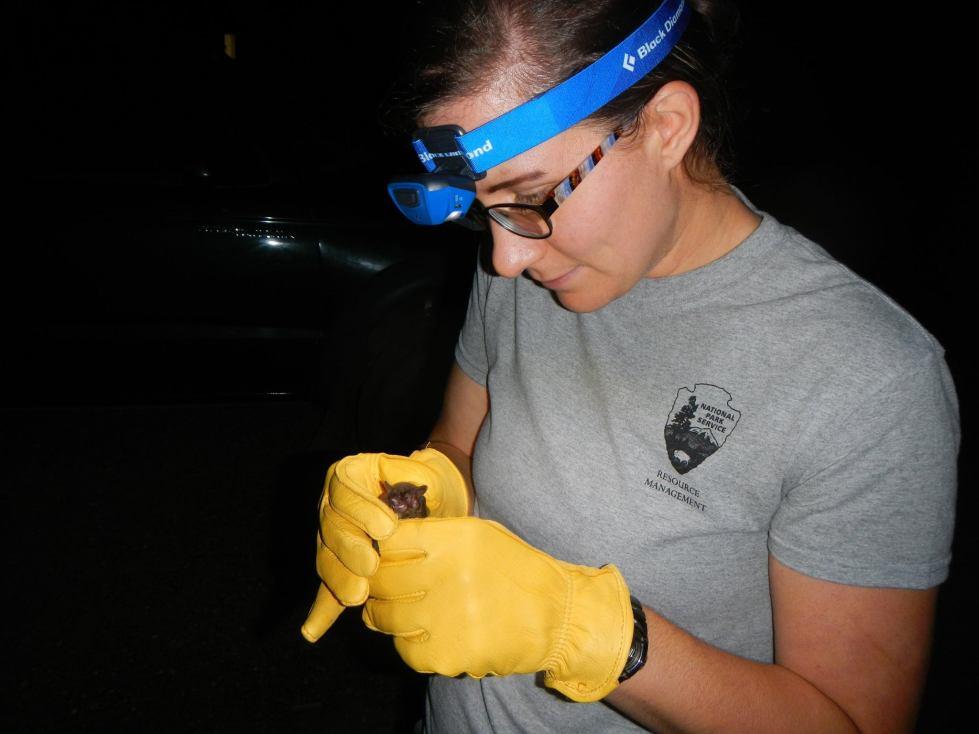 Amanda holds a bat while mist-netting with the National Park Service. Photo courtesy of Amanda.