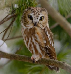 Northern saw whet owl Photo by Franklin Nejame