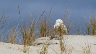 Snowy owl Photo by Brian Rusnica