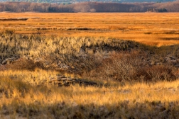 Looking inland across the salt marsh at sunrise, you can see sturdy grasses and shrubs that protect sand dunes from erosion. The marsh protects coastline property by buffering waves and swallowing storm surges, while also providing habitat for wildlife.
