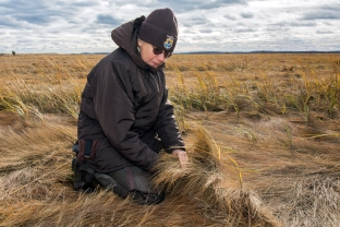 """Susan Adamowicz, Ph.D. examines Spartina patens, which dominates the high marsh habitat. Susan is the salt marsh biologist for the Land Management Research and Demonstration Area that includes Parker River NWR. She carries out marsh restoration techniques, including use of """"runnels,"""" or narrow, shallow channels, to restore appropriate tidal ebb flows in rapidly declining high salt marsh."""