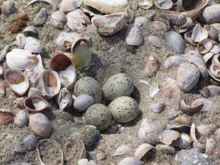 Piping pllover eggs in the sand. Photo by Patrick Commins, Audubon CT