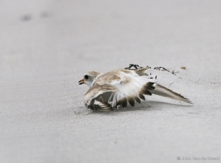 A plover feigns a broken wing to draw predators away from the nest. Photo by John Van de Graaff