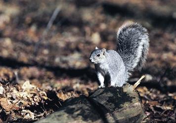 Delmarva-fox-squirrel