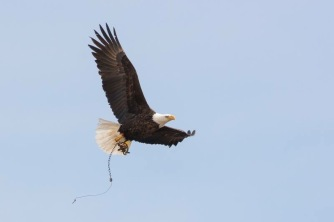 The eagle is still able to fly with the trap attached.
