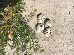 Skimmer nest