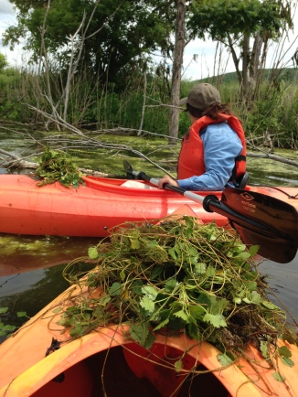 Removing water chestnut at Wallkill River National Wildlife Refuge. Water chestnut is an invasive plant that grows and spreads rapidly consuming much of the oxygen in the water, which then kills off the native fish and other critters.