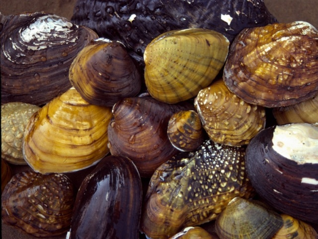 freshwater mussel and water quality a An evaluation of freshwater mussel toxicity data in the derivation of water quality guidance copper water quality criteria, 14 freshwater mussel genus.