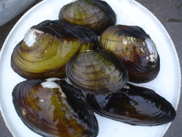 Freshwater mussels in the Allegheny River near Foxburg, PA are filtering millions of gallons of water a day. Credit: USFWS