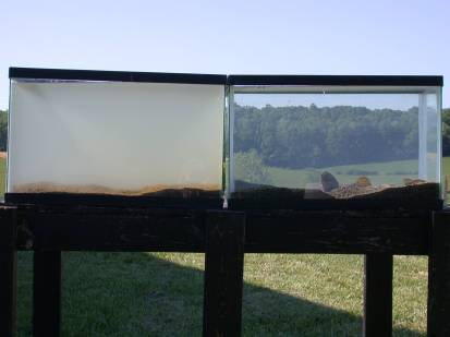 Tank of freshwater mussels and tank with no freshwater mussels after 24 hours. Credit: Neves, VA Tech