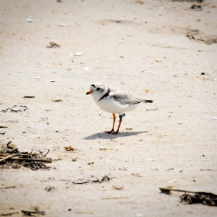 Since the storm, researchers from Virginia Tech have been banding and monitoring piping plovers near the channel. Credit: NPS