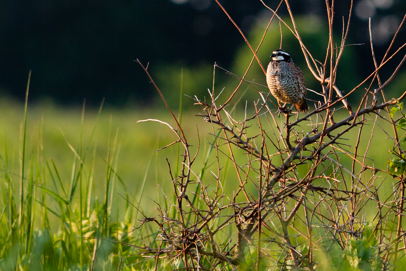 Us fish and wildlife service northern bobwhite perched on a twig in bush with prairie in the background sciox Image collections