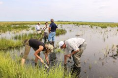 Planting marsh grasses at Blackwater National Wildlife Refuge, Maryland. Credit: Dagny Leonard, The Conservation Fund