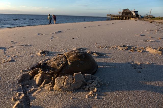 horseshoe crab Reeds Beach Delaware Bay