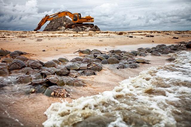 horseshoe crabs Thomspons Beach Delaware Bay