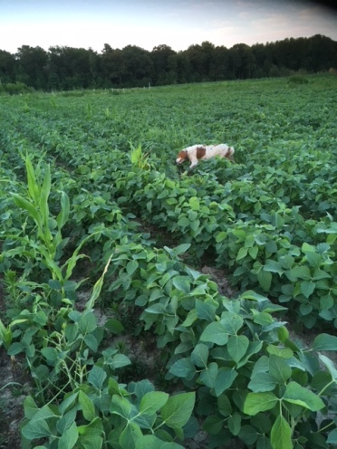 Bob Spiering's dog races through a field of soybean. Photo courtesy of Bob.