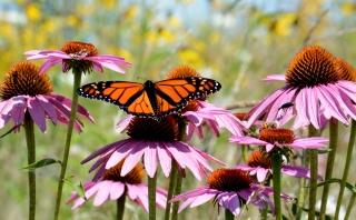 A monarch butterfly on purple coneflower.