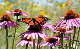 A monarch butterfly on purple coneflower.