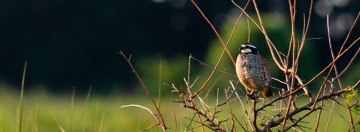 "Enticing the ""prince of game birds"" back to a Maryland farm"