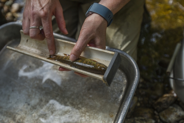 Trout-in-Roarding-Brook_TNC