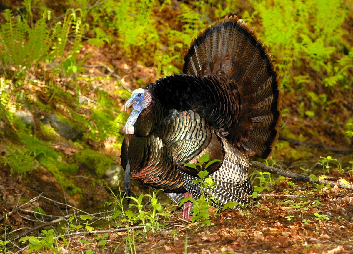 Talking Turkey on Thanksgiving, Giving Thanks for what Nature Provides