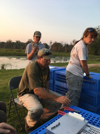 Volunteers like Chris Smith are instrumental in helping band ducks at Missisquoi NWR. Zach, his son, is learning the ropes by handing ducks to banders.