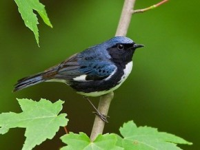 "The black-throated blue warbler was identified as a ""Forest Health Indicator Species"" by the Connecticut Forestlands Council Forest Ecosystem Health Committee for northern forest habitat."