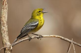 "The pine warbler was identified as a ""Forest Health Indicator Species"" by the Connecticut Forestlands Council Forest Ecosystem Health Committee for white pine forest."