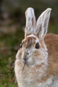 Snowshoe hare during summer. Photo by Eric Bégin/ Creative Commons