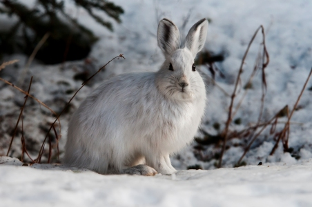 Snowshoe hare during winter. Photo by Tim Rains/ NPS