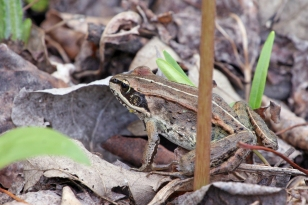A wood frog camouflaged with leaf litter.