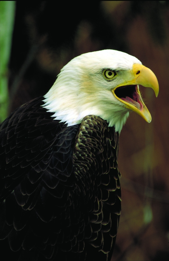 Saving Our Nations Symbol On National Wildlife Refuges Us Fish