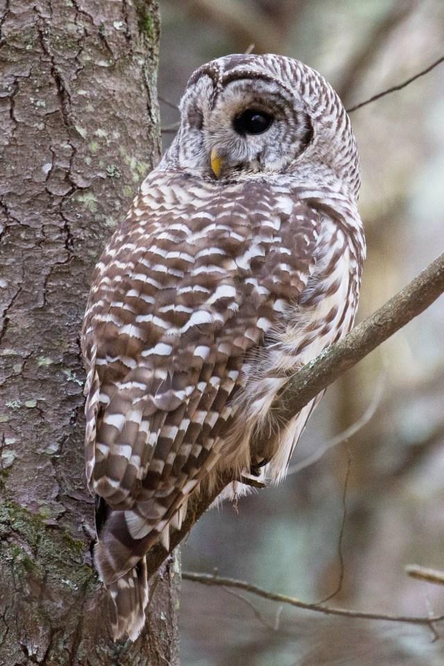 Barred owl at Assabet River National Wildlife Refuge in Massachusetts. Photo by Gary Freedman.