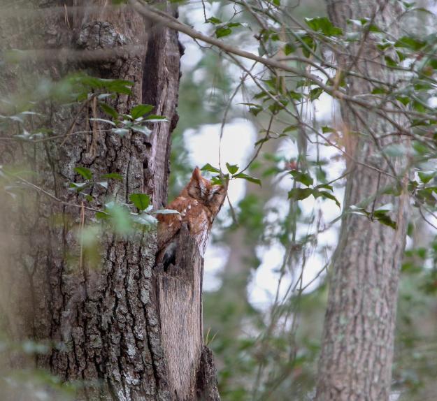 Eastern Screech Owl_Red Morph 1