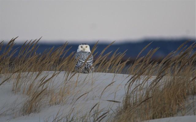 Snowy Owl 4