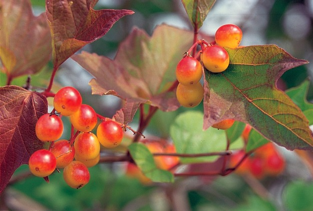 American-cranberry-bush_USDA