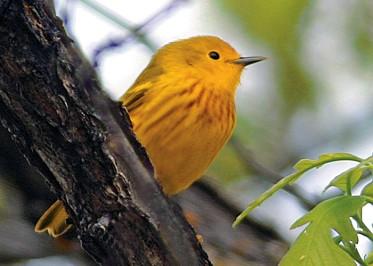 Yellow-Warbler_FWS