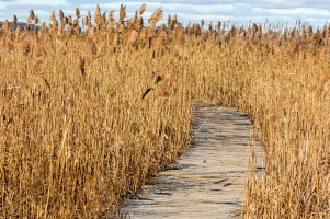 A boardwalk passes through a stand of Phragmites australis at Parker River National Wildlife Refuge. (Credit: Steve Droter)