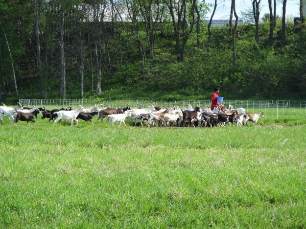 Goats_feeding_time