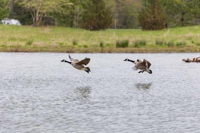 viola-farms-canada-geese