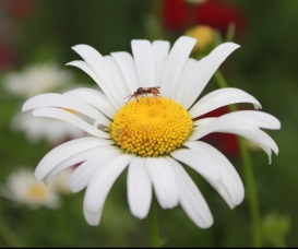 A daisy with a pollinator on it in the pollinator garden outside the USFWS Regional Office in Hadley, MA. Credit: Megan Nagel/USFWS