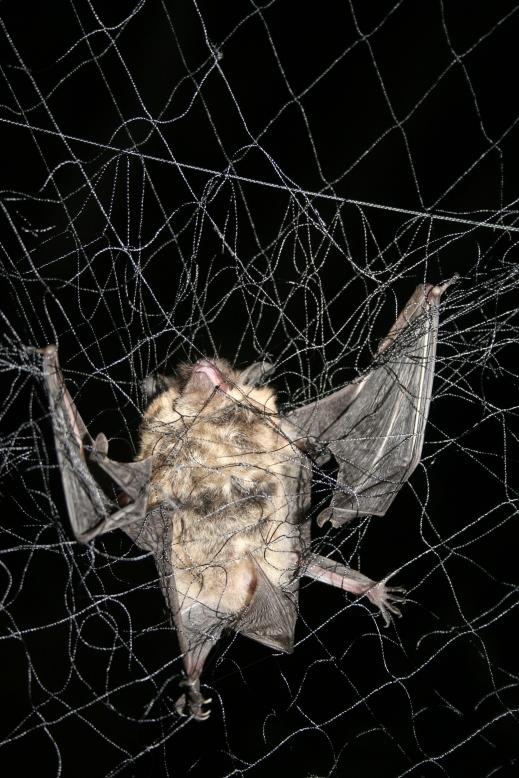 Ann Froschauer USFWS_little brown bat