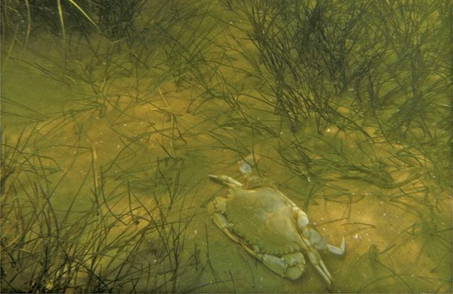 Blue-crab-in-bay-grass_FWS