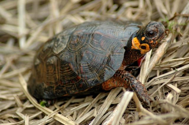 Bog-turtle_FWS