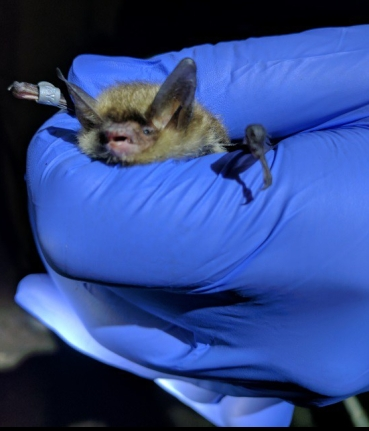 The female northern long-eared bats caught during the survey, Credit: USFWS