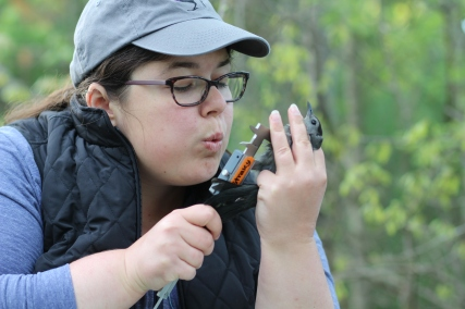 Biologist measuring a songbird included in the study